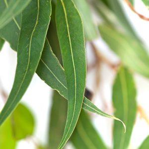Eukalyptus staigeriana (Brazíliai eukalyptus)